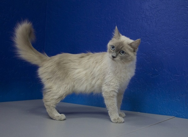 Blue Colourpoint Mink Female Ragdoll Cat