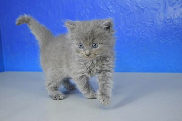 Blue Solid Male Ragdoll Cat